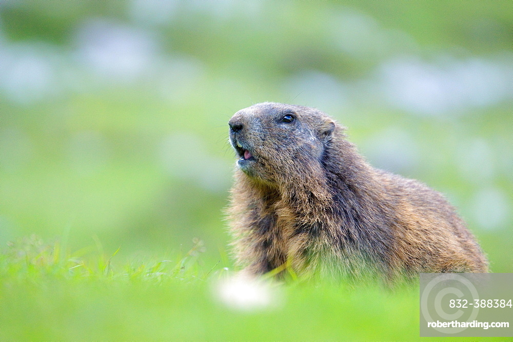 Alpine Marmot (Marmota marmota) stands attentively in a meadow, Karwendel area, Austria, Europe