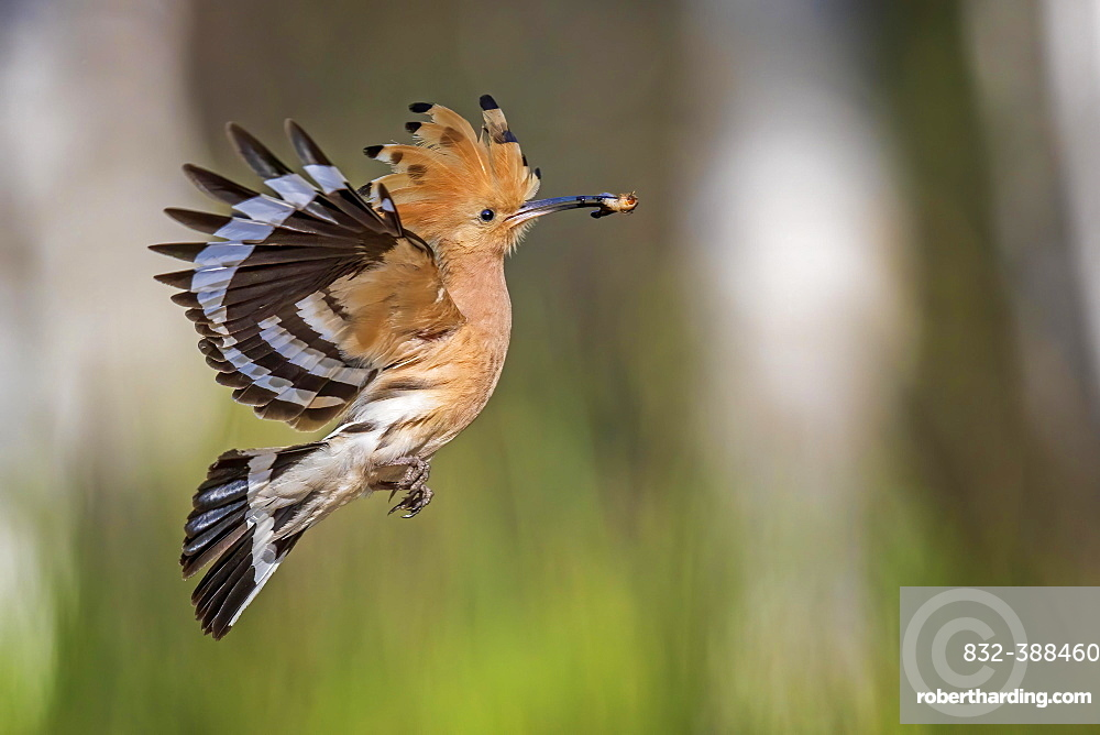 Hoopoe (Upupa epops) flying with prey, during foraging, Middle Elbe Biosphere Reserve, Saxony-Anhalt, Germany, Europe