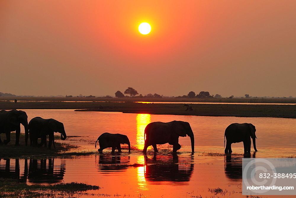Elephants (Loxodonta africana), silhouettes at sunset, wading through the Chobe River, Chobe National Park, Botswana, Africa