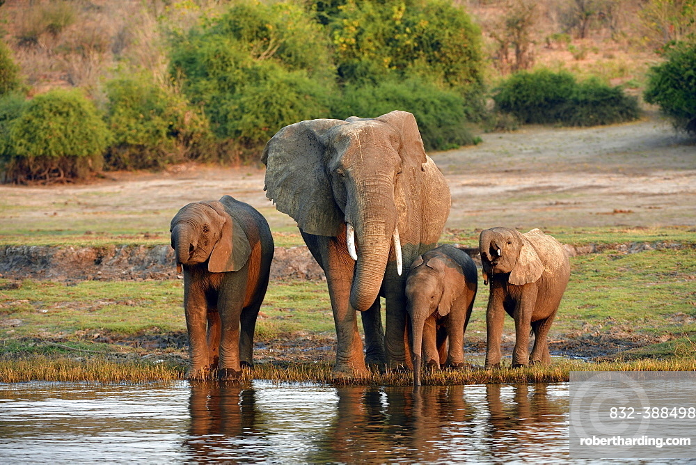 Elephant (Loxodonta africana), female with three young animals drinking water from the Chobe River, Chobe National Park, Botswana, Africa