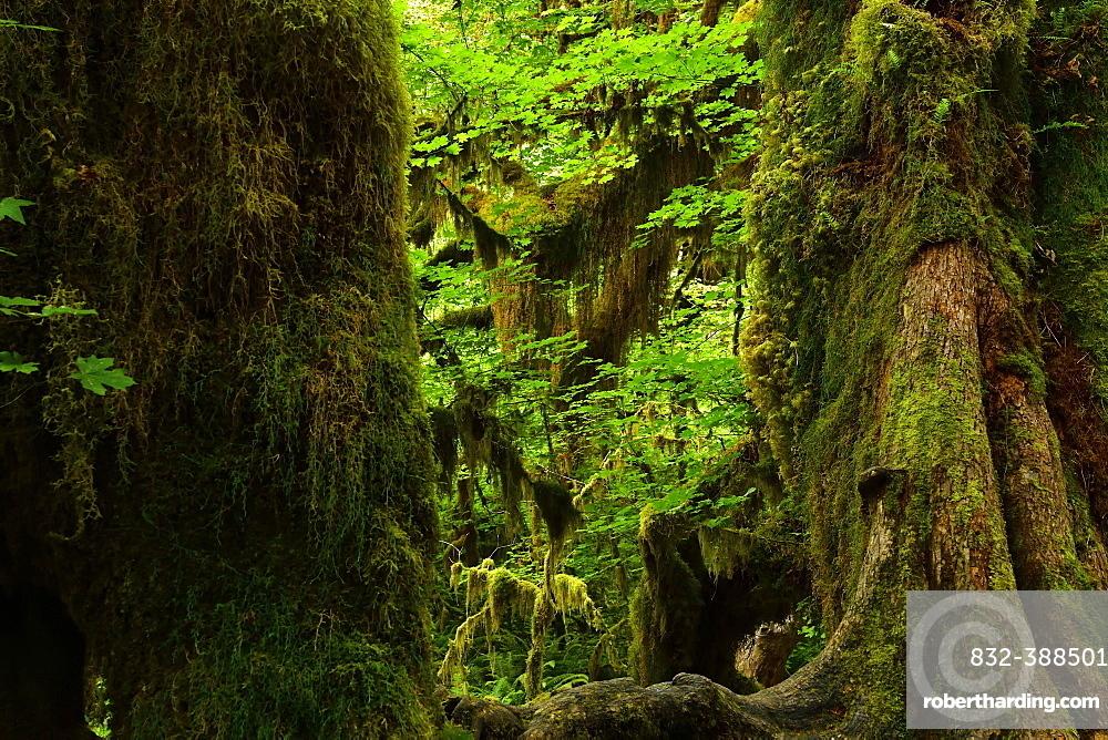 Dense vegetation in the rainforest, Olympic National Park, Washington, USA, North America