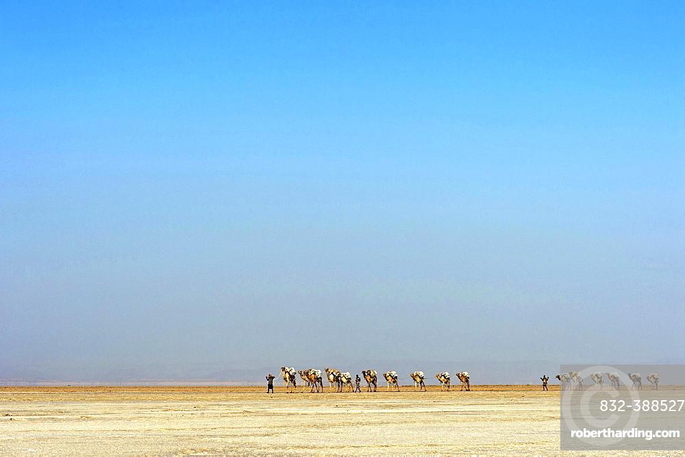 Afar shepherd leads a dromedary caravan loaded with rock salt plates (halite) across the Lake Assale (Lake Assale), Danakil Depression, Afar Region, Ethiopia, Africa