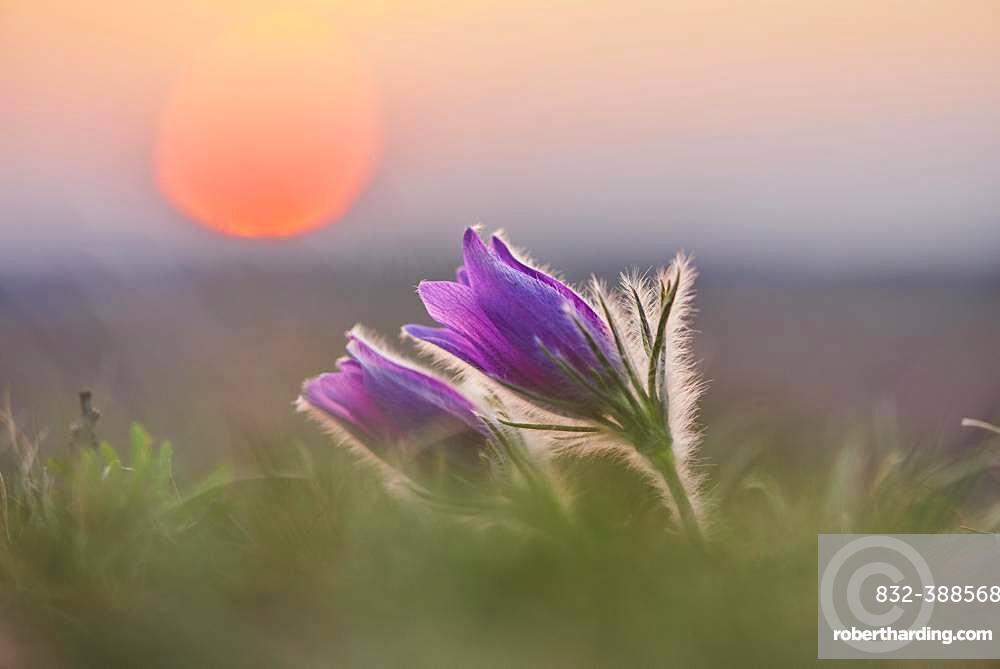 Pasque flower (Pulsatilla vulgaris ), blooming, sunset, Bavaria, Germany, Europe
