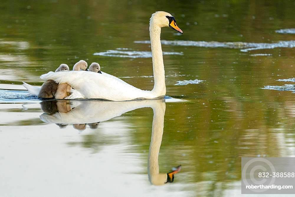 Mute swan (cygnus olor), adult bird swims with chick on its back, Germany, Europe