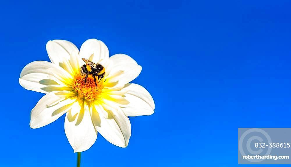 Bumblebee (Bombus) collects nectar from flowers in front of blue sky, Austria, Europe