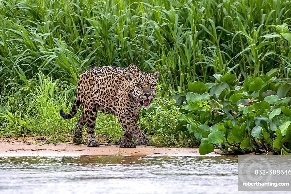 Jaguar (Panthera Onca), stalks in the shore area, Matto Grosso do Sul, Pantanal, Brazil, South America