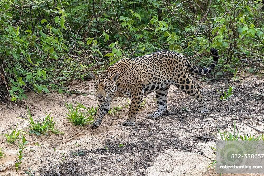 Jaguar (Panthera Onca), female, creeps on silent soles, Matto Grosso do Sul, Pantanal, Brazil, South America