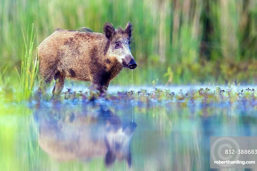 Wild boar (Sus scrofa) standing in water, with own mirror image, Biosphere Reserve Mittelelbe, Saxony-Anhalt, Germany, Europe
