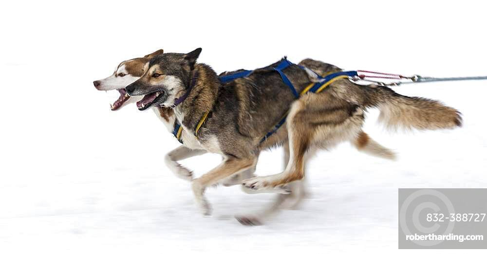Sled dogs in the run at a dog sled race, Bad Hindelang, Unterjoch, Bavaria, Germany, Europe