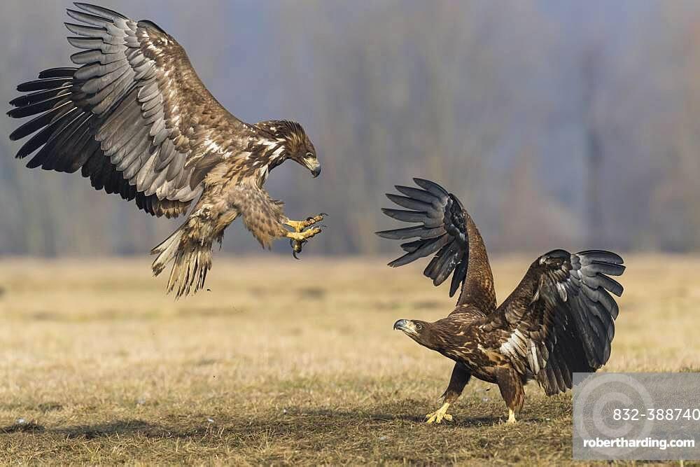 White-tailed eagle (Haliaeetus albicilla ), Kutno, Poland, Europe