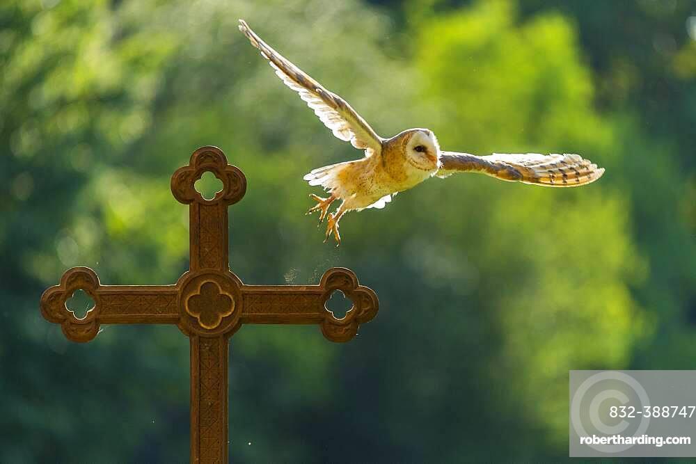 Common barn owl (Tyto alba) flies off a cross against the light, Vechta, Lower Saxony, Germany, Europe