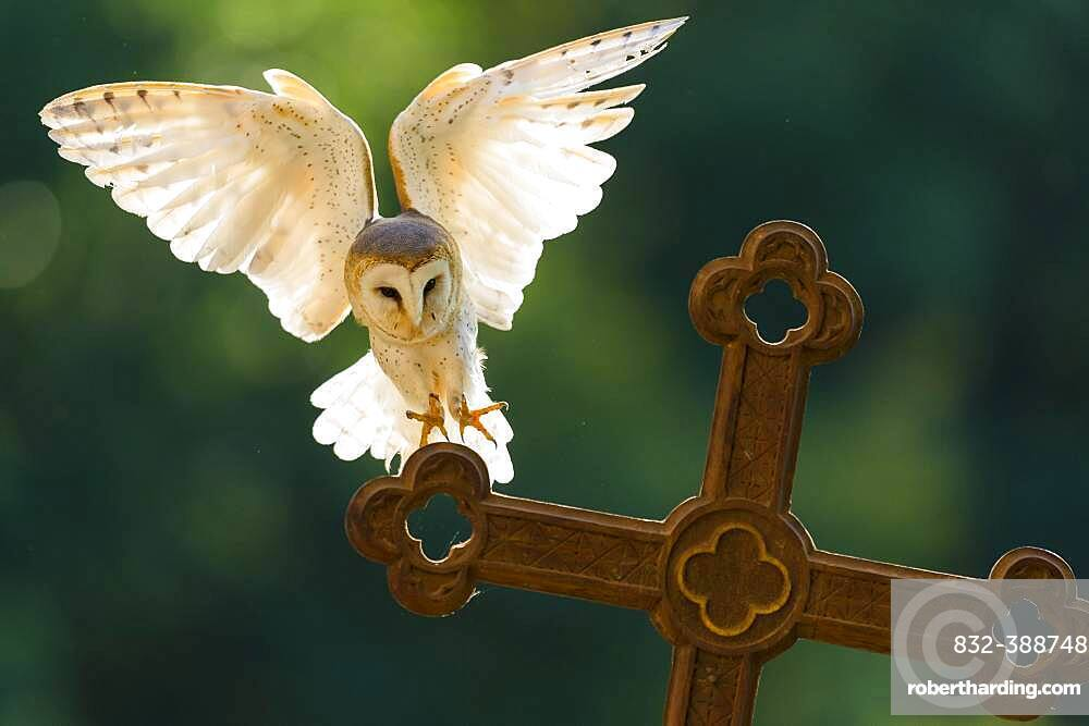 Common barn owl (Tyto alba ) lands on a cross against the light, Vechta, Lower Saxony, Germany, Europe