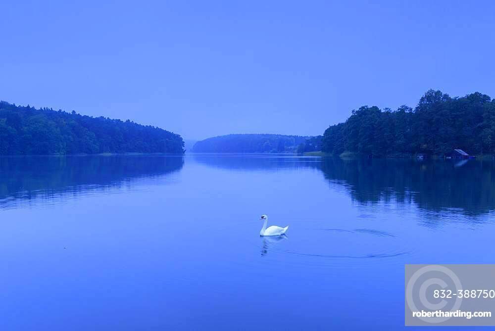 Swan on the lake Schmaler Luzin zur blauen Stunde, Lake, Feldberger Seenlandschaft, Mecklenburg-Vorpommern, Germany, Europe