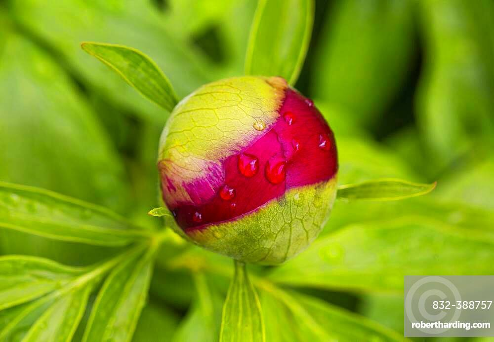 European peony, bud (Paeonia officinalis) with drops of water, Upper Austria, Austria, Europe