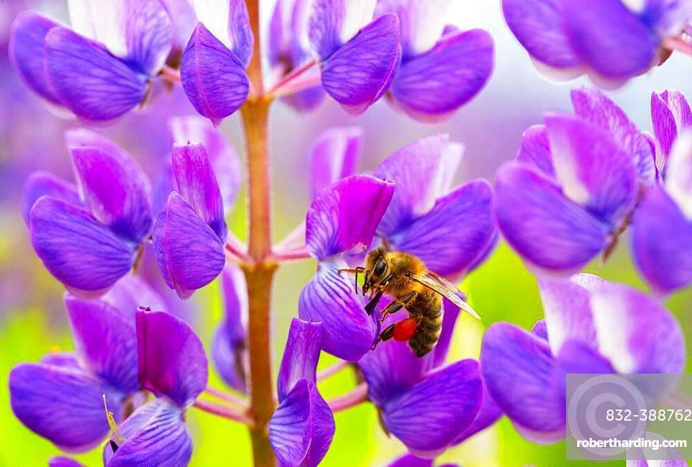 Bee at lupine flower, lupines, lupinus, multi-leaved lupine, Upper Austria, Austria, Europe