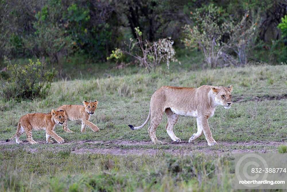 Lioness (Panthera leo) with cubs, Maasai Mara, Kenya, Africa