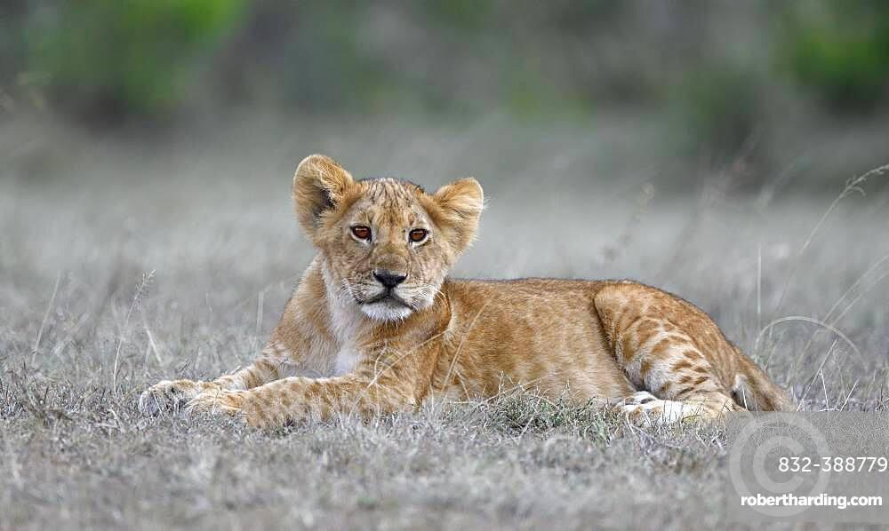 Young (Panthera leo ), Masai Mara Game Reserve, Kenya, Africa