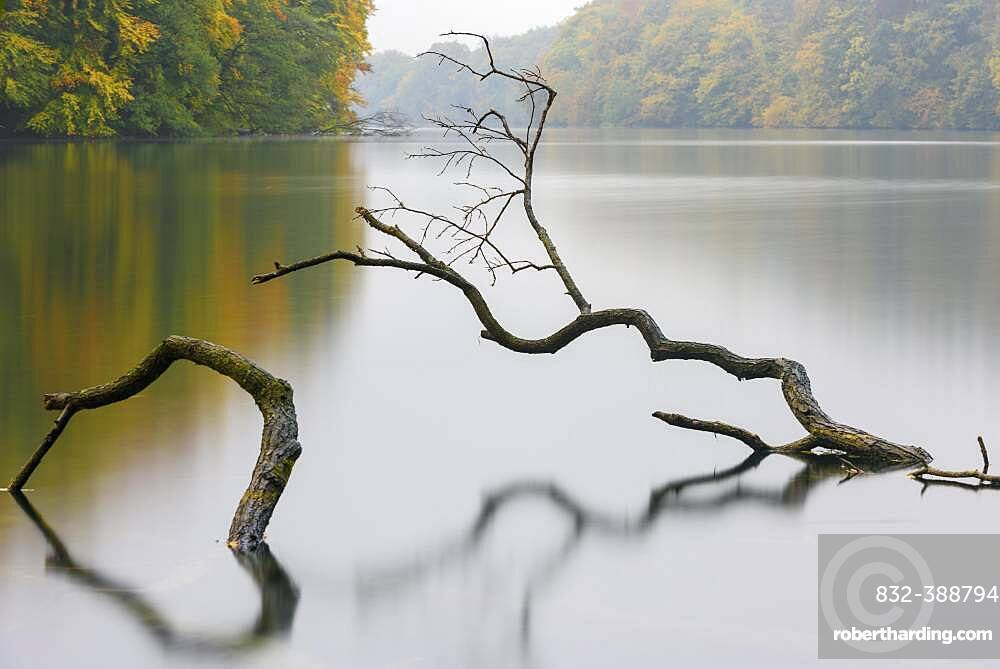 Supported tree in a lake in autumn, Schmaler Luzin, Feldberger Seenlandschaft, Mecklenburg-Vorpommern, Germany, Europe