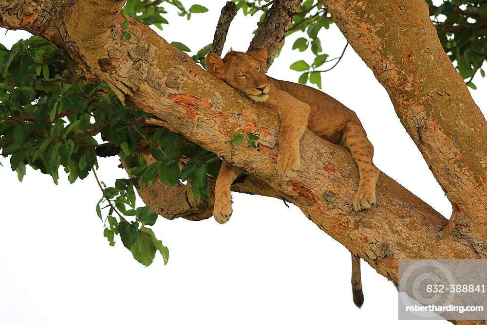Lion (Panthera leo) lies in a tree, Queen Elizabeth National Park, Uganda, Africa