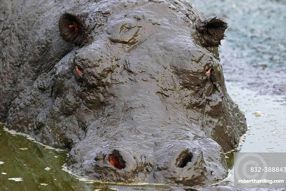 Hippo (Hippopotamus amphibius) bathing in mud, animal portrait, Queen Elisabeth National Park, Uganda, Africa