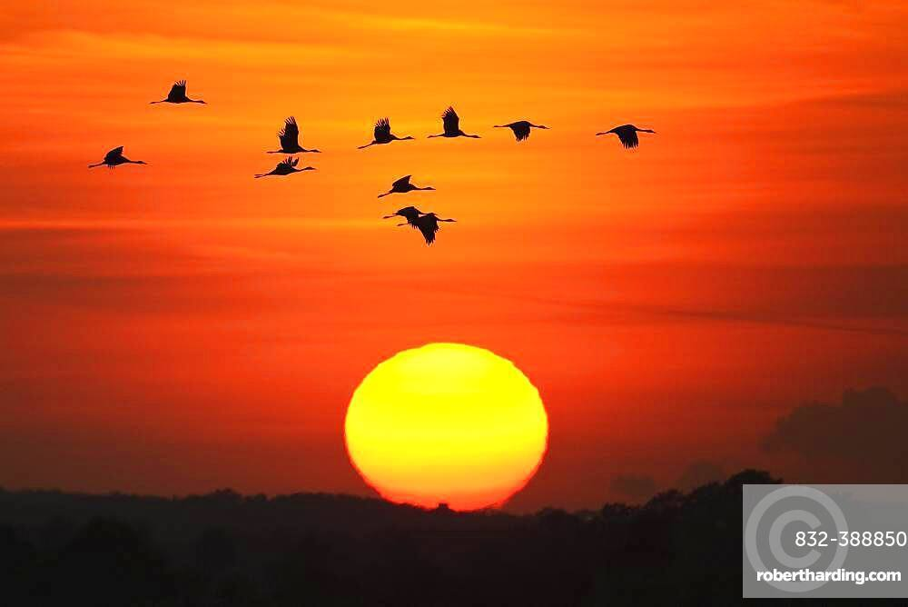 Migrating cranes (grus grus) in autumn in front of setting sun, Goldenstedter Moor, bird migration, Oldenburger Muensterland, Lower Saxony, Germany, Europe