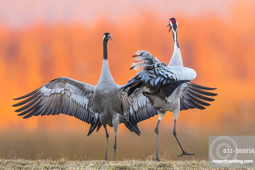 Cranes (grus grus) perform courtship display with flapping wings, Dance of the Cranes, Vaestergoetland, Sweden, Europe