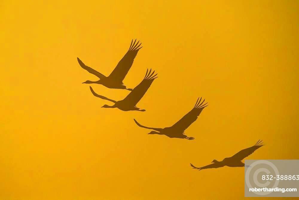 Flying Cranes (grus grus) in front of morning sky, sunrise, migrating bird, bird migration, Vaestergoetland, Sweden, Europe