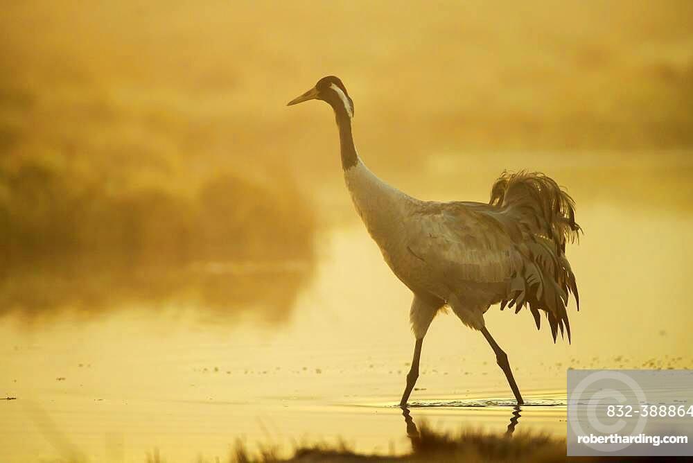 Crane (grus grus) at sunrise, walking in water in a misty bog, Vaestergoetland, Sweden, Europe