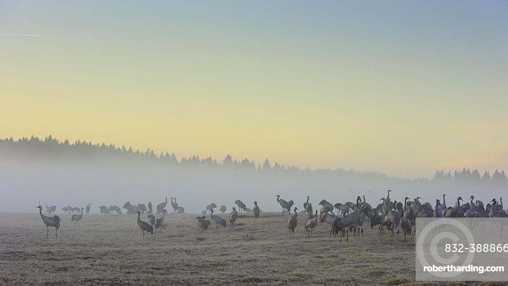 Resting cranes (grus grus) at daybreak, flock of birds, migratory birds, bird migration, courtship display, Vaestergoetland, Sweden, Europe