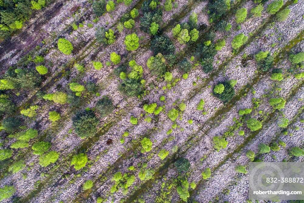 Aerial view, Birches (Betula) in rewetted peat bogs in the Goldenstedter Moor, Goldenstedt, Oldenburger Muensterland, Lower Saxony, Germany, Europe