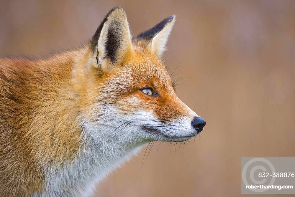 Red fox (Vulpes vulpes) in winter coat, portrait, Netherlands