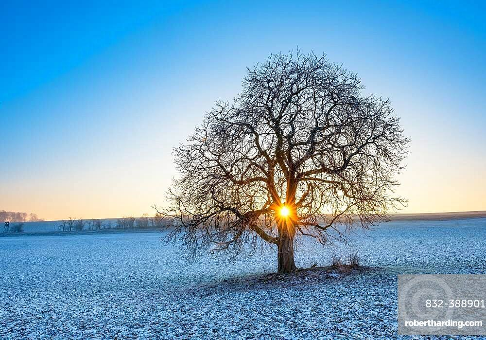 Sun shines through solitary horse chestnut Aesculus on field with little snow in winter, blue sky, Burgenlandkreis, Saxony-Anhalt, Germany, Europe