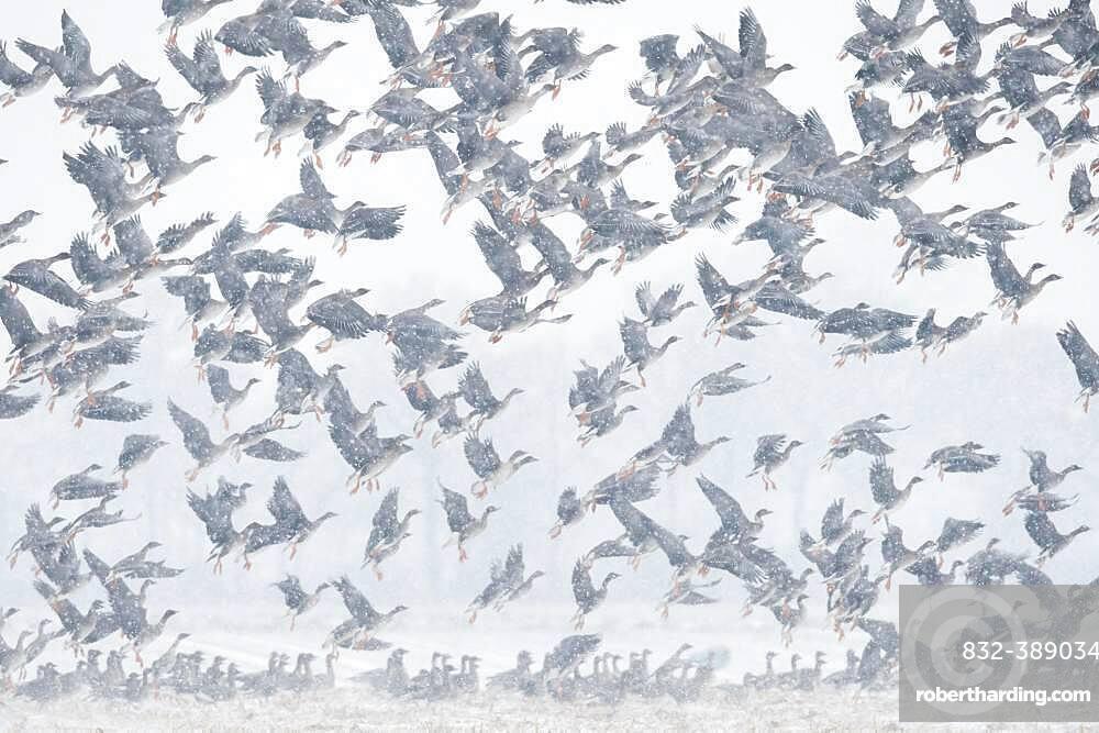 Flying geese in snow flurries, flock of geese, migratory bird, bird migration, Goldenstedter Moor, Lower Saxony, Germany, Europe