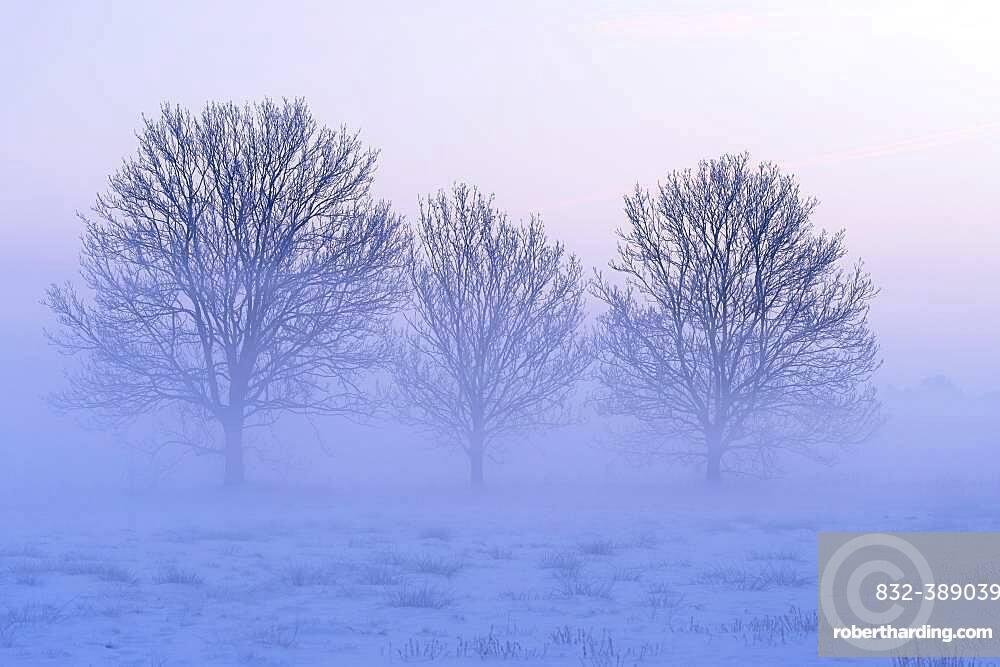 Three bare trees in a misty winter landscape, Lower Saxony, Germany, Europe