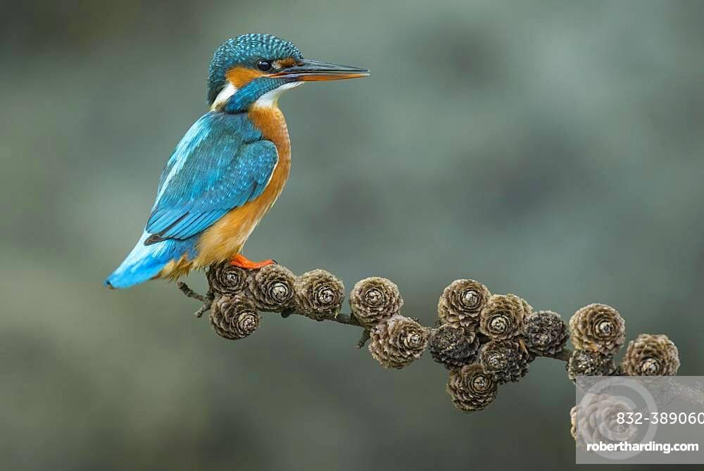 Common kingfisher ( Alcedo atthis) on Ansitzwarte, Netherlands