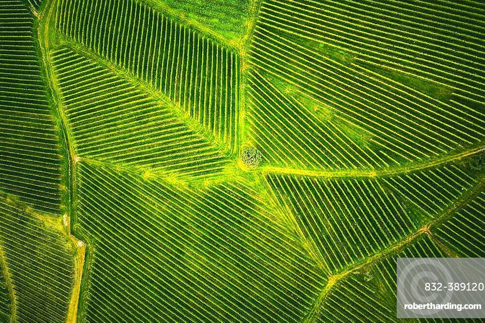 Aerial view at rows of grape vines vineyard South Styria, Austria, Europe