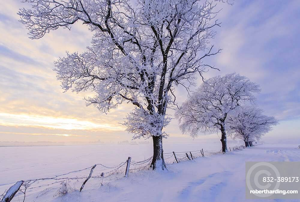 Oak ( Quercus) in hoarfrost at the edge of the field in winter, tree, Vechta, Lower Saxony, Germany, Europe
