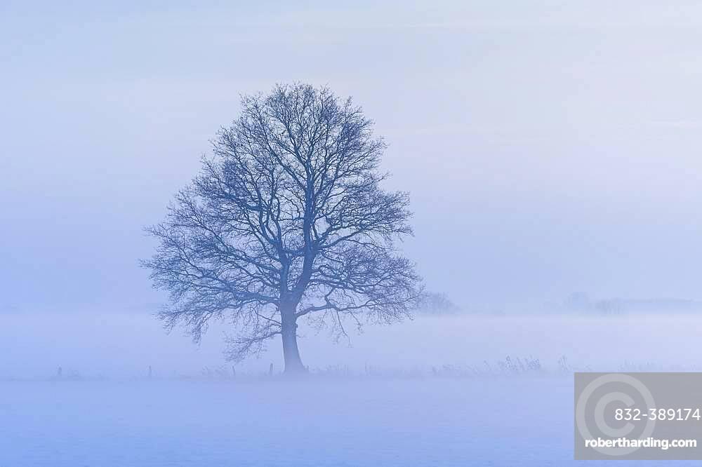 Oak ( Quercus) in foggy, winterly landscape, tree, bare, Vechta, Lower Saxony, Germany, Europe
