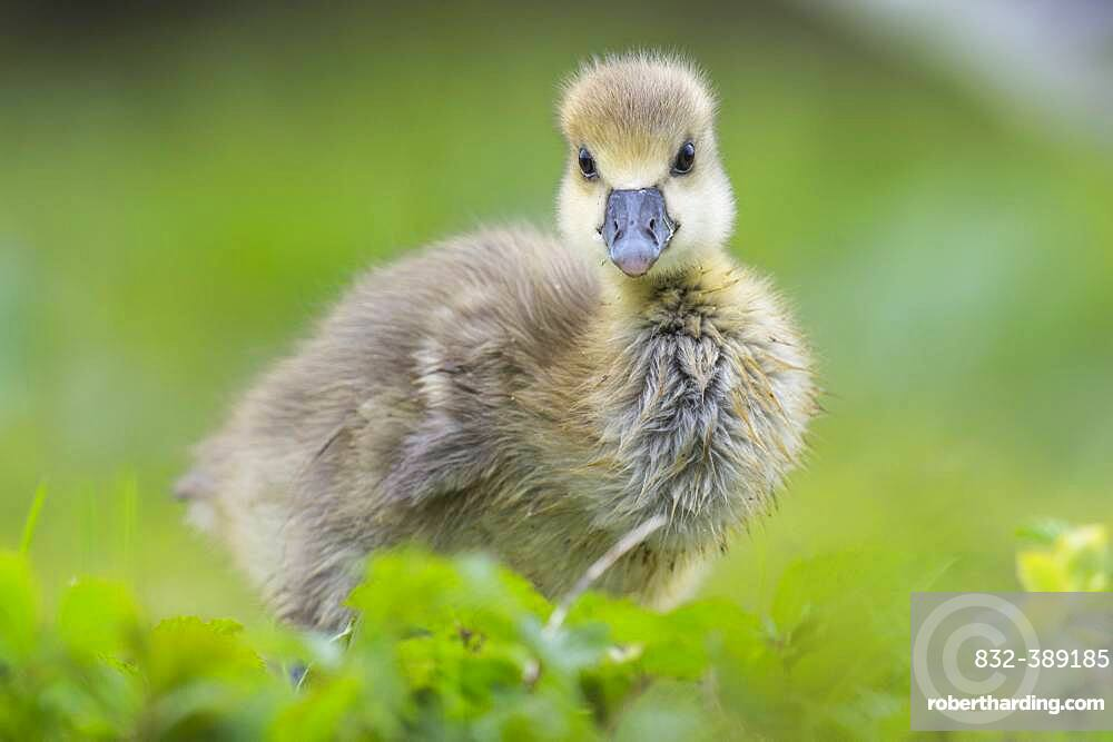 Greylag goose ( anser anser) Hanover, Lower Saxony, GermanyGoessel of one, Chick, cute, Germany, Europe
