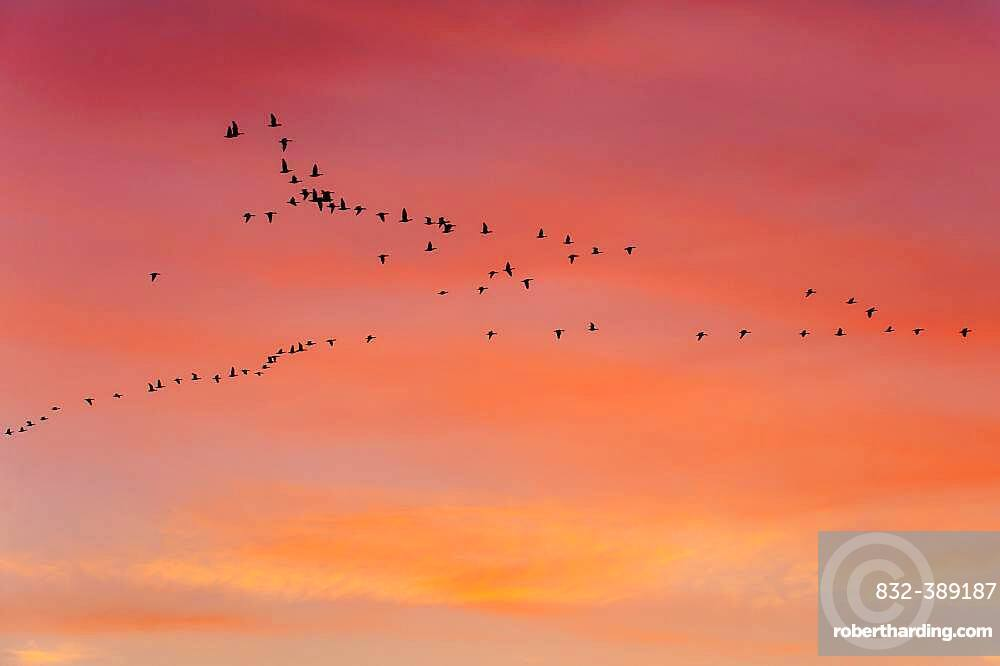 Pulling Greylag goose ( anser anser) in front of the red evening sky, migratory bird, bird migration, Rehdener Geestmoor, Lower Saxony, Germany, Europe