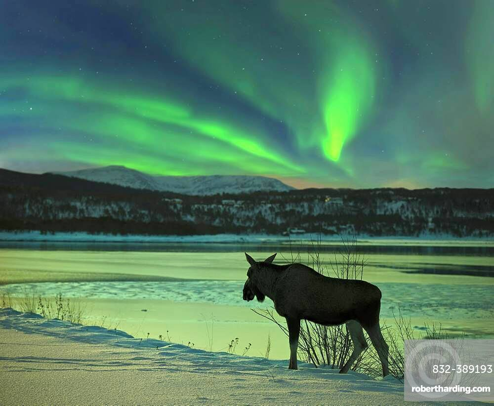 Moose at Tysfjord with northern lights in Norway