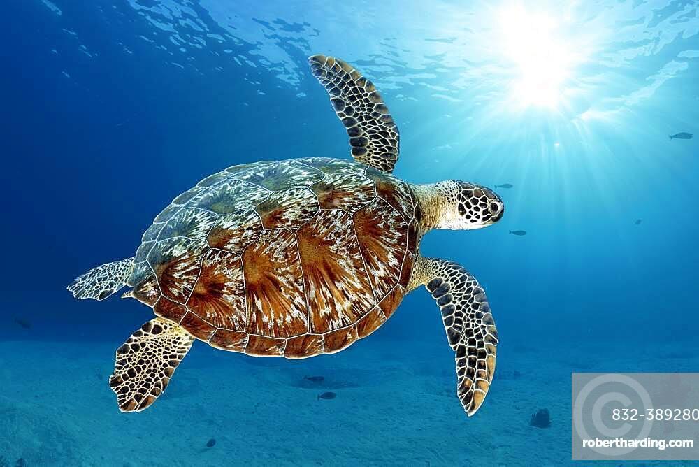 Green turtle (Chelonia mydas) or green turtle, swimming against the light over sandy bottom, Andaman Sea, Mu Ko Similan National Park, Similan Islands, Phang Nga Province, Thailand, Asia