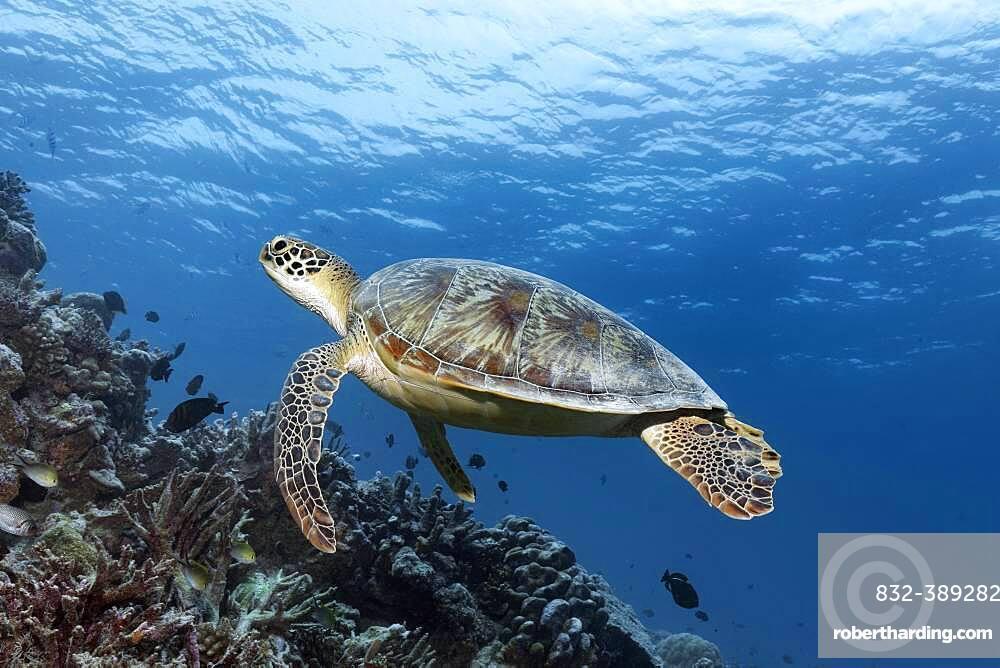 Green turtle (Chelonia mydas) or green turtle, swimming over coral reef, Andaman Sea, Mu Ko Similan National Park, Similan Islands, Phang Nga Province, Thailand, Asia