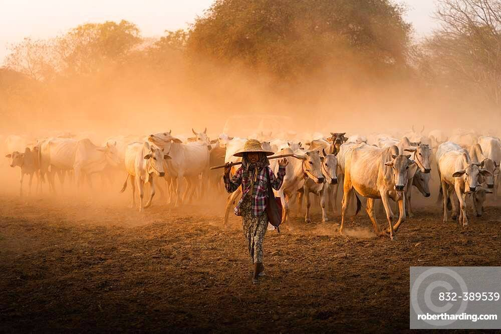 Shepherdess with herd of cattle walking on dry earth with dust during sunset, Bagan, Myanmar, Asia