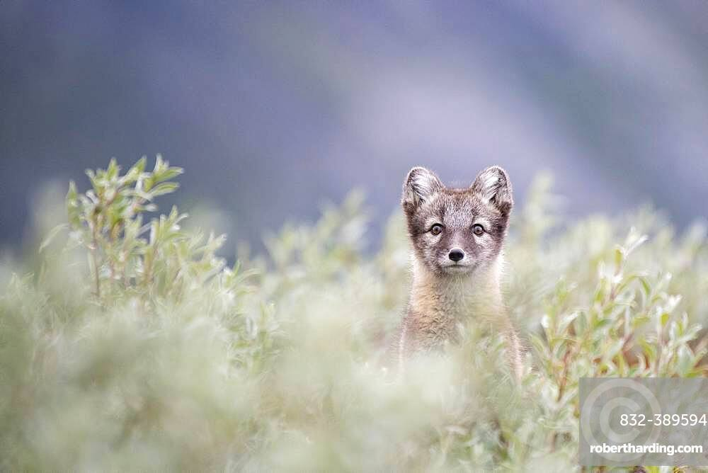 Young arctic fox (Vulpes lagopus), Dovrefjell-Sunndalsfjella National Park, Norway, Europe