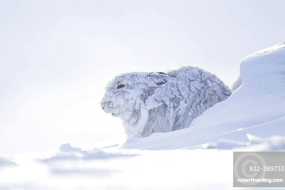 Mountain hare (Lepus timidus) adult in it's winter coat on a snow covered mountain, Finhorn valley, Scotland, United Kingdom, Europe