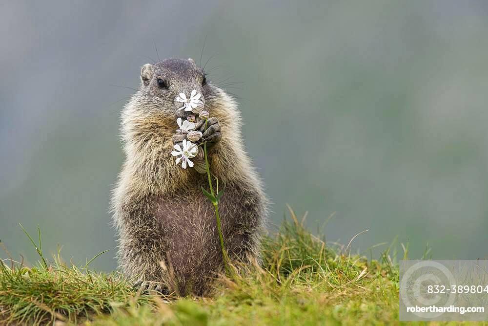 Young marmot (Marmota marmota) eating flower in the Alps, Hohe Tauern National Park, Austria, Europe