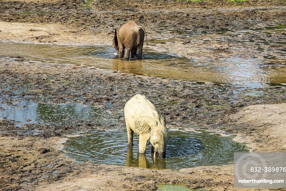African forest elephants (Loxodonta cyclotis) at Dzanga Bai, Unesco world heritage sight Dzanga-Sangha Special Reserve, Central African Republic, Africa