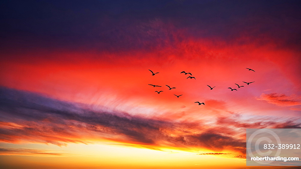 Photomontage, flock of birds flying in front of red clouds in evening sky, silhouettes at sunset