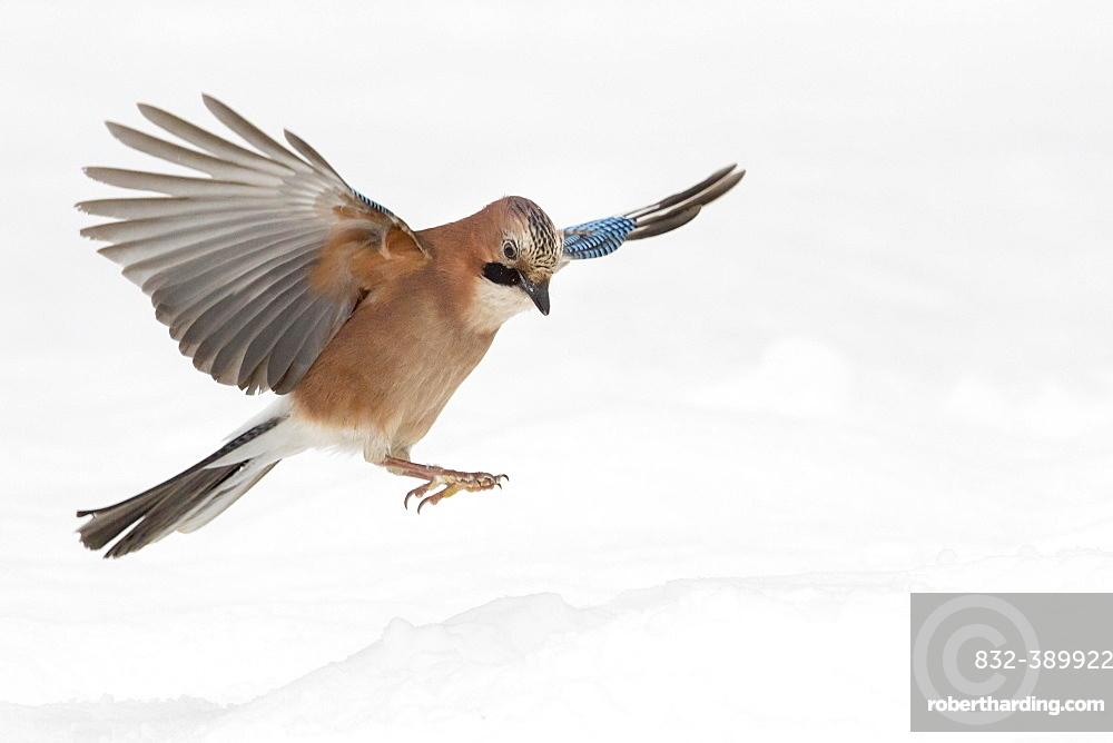 Eurasian jay (Garrulus glandarius) in flight, winter, snow, feeding, Germany, Europe